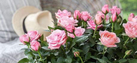 Potteroser rosa