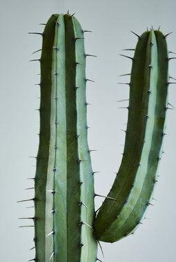 kaktus i kurv