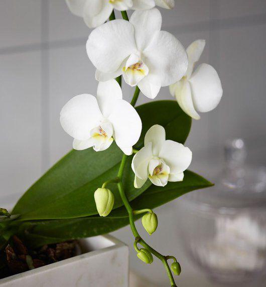 Hvit orkide på badet