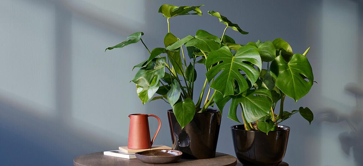 grønne planter monstera i miljø