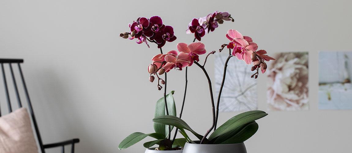 Allergivennlige blomster