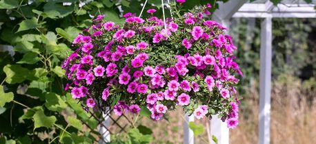 mange fordeler med sommerblomster i ampel