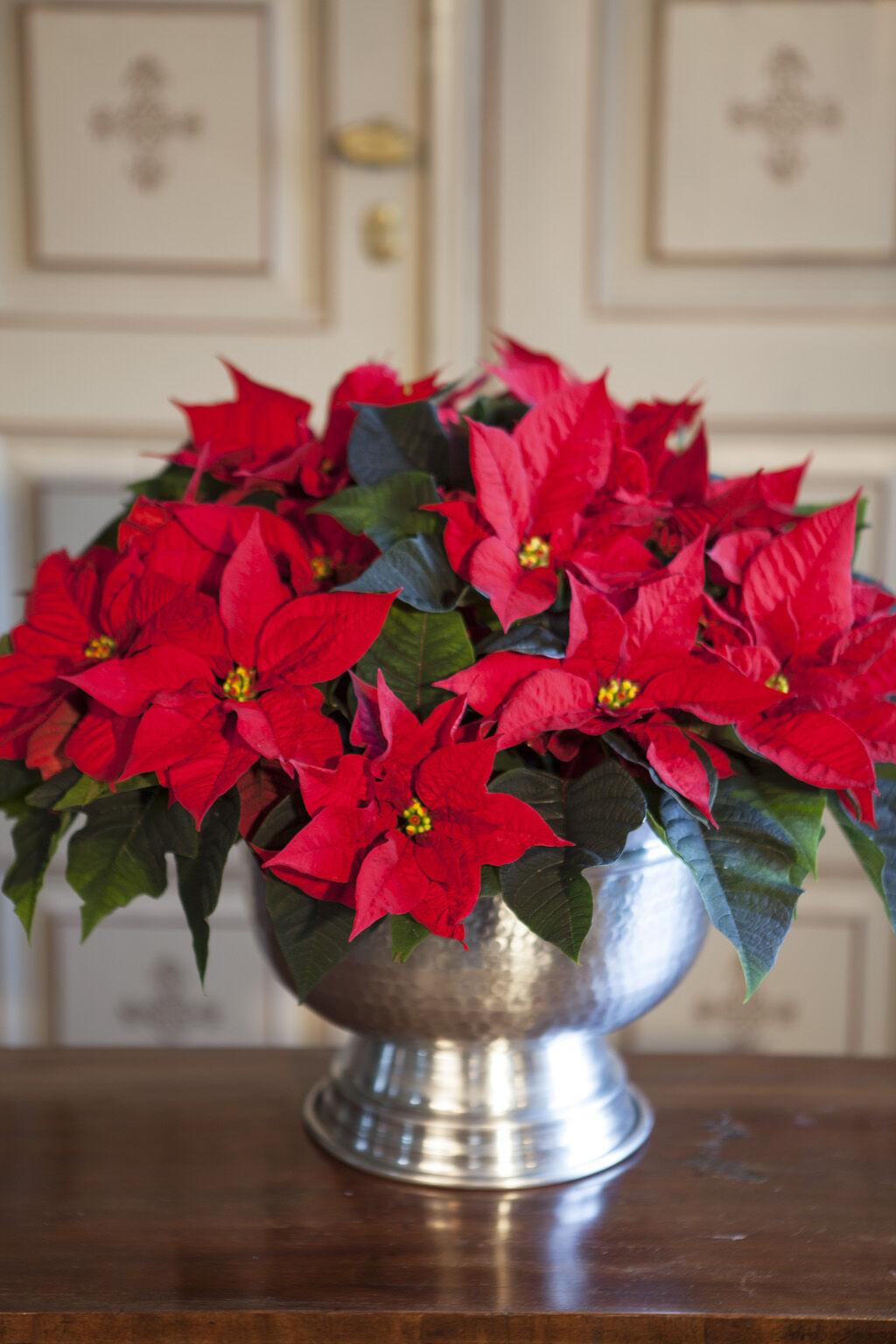 rød julestjerne i potte