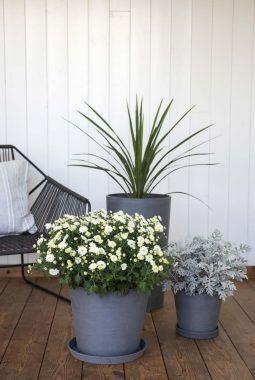 høst med frilandskrysantemum i hvit