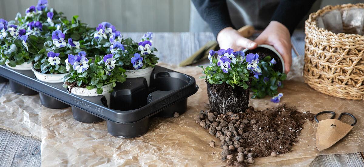 Planting og stell av viola