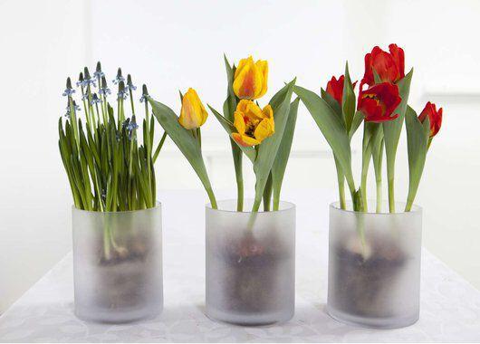 muscari og tulipaner