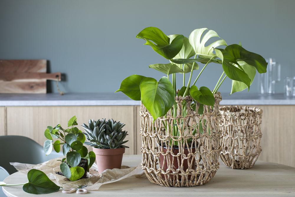 Monstera i hyacinyh-kurv
