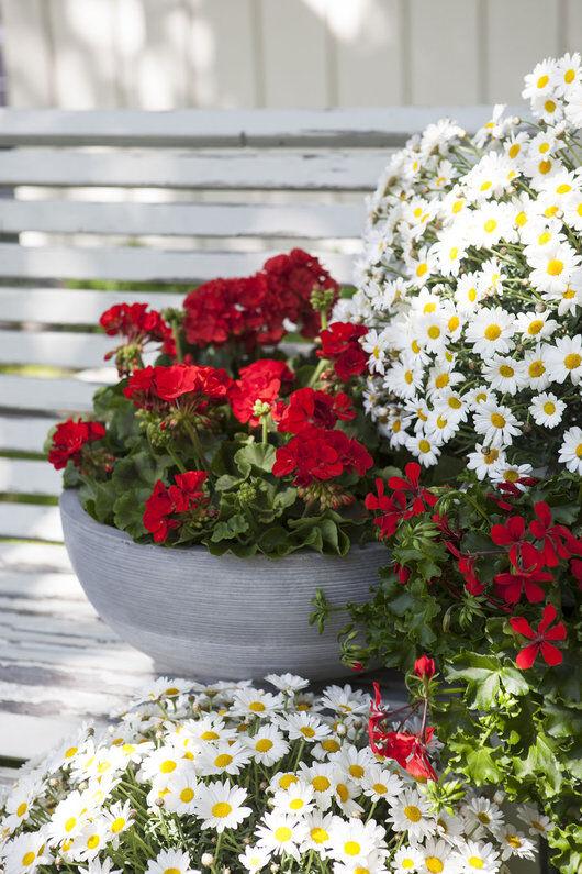 rød pelargonia og hvite margeritter gir en fin 17. maistemning