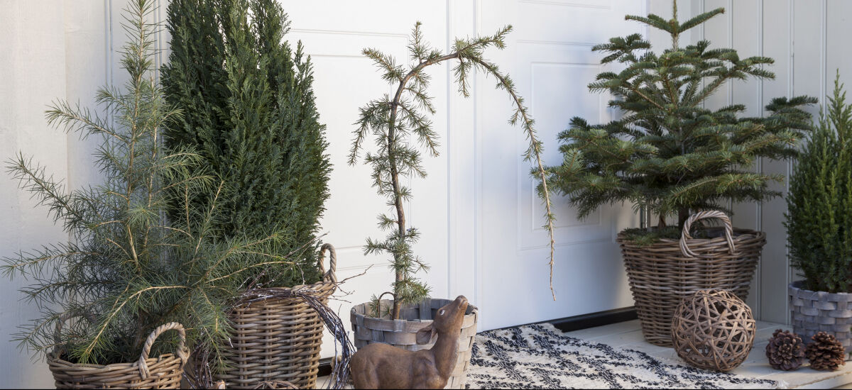 inngangsparti med sedertre og vintergrønt