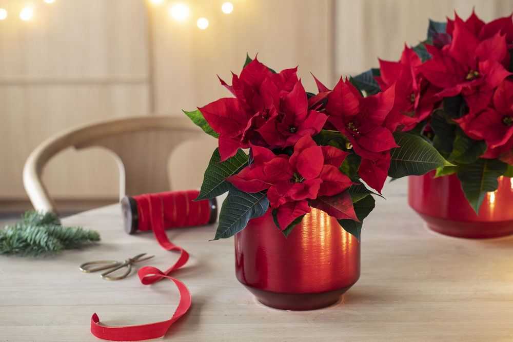 rød julestjerne_jul