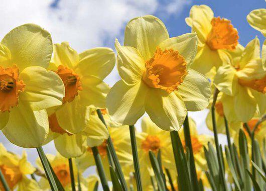 påskeliljer er et sikkert vårtegn