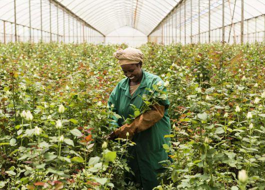 Fairtrade roseproduksjon