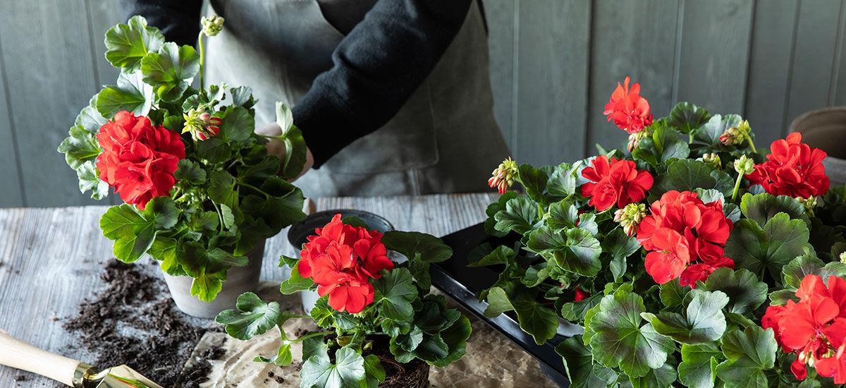 Slik steller du røde pelargonia