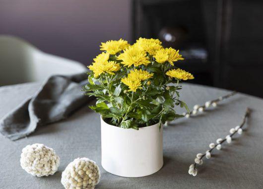 gul krysantemum er spesielt populær til påske