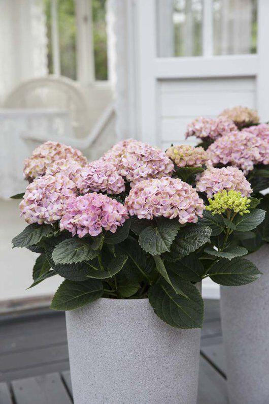 hortensia magical kommer også som stor og flott busk