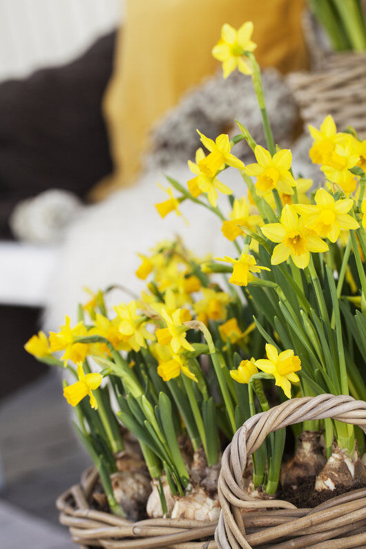 gule påskeliljer gir god påskestemning