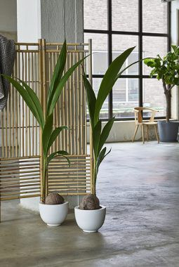cocoas nucifer_kokospalme_grønne planter