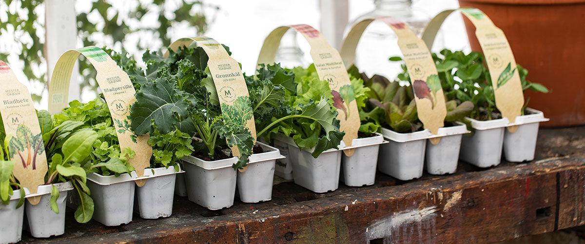 Stelletips på bladbete, grønnkål og kål