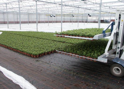 Azalea-produksjon