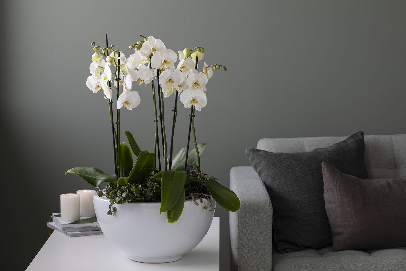 Orkide sammenplanting