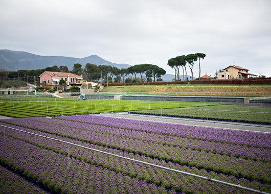 Produksjon lavendel Italia