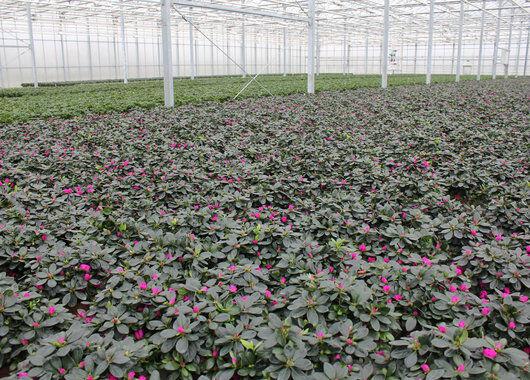 Azalea produksjon