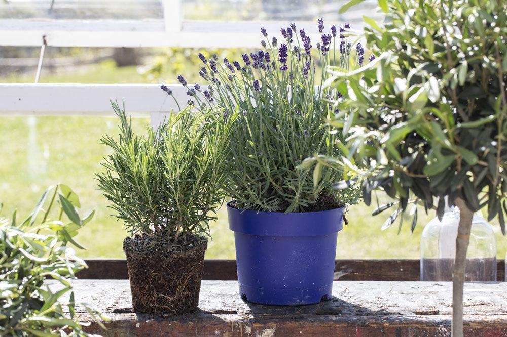Lavendel, rosmarin og oliven