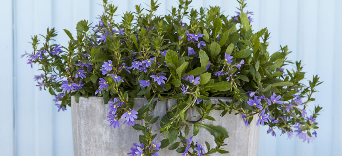 femtunge – blomsten brunsneglene ikke liker