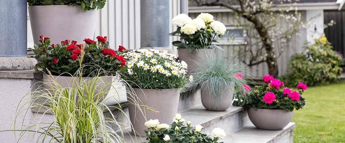 Still av sommerblomster, pelargonia, lobelia, margeritt