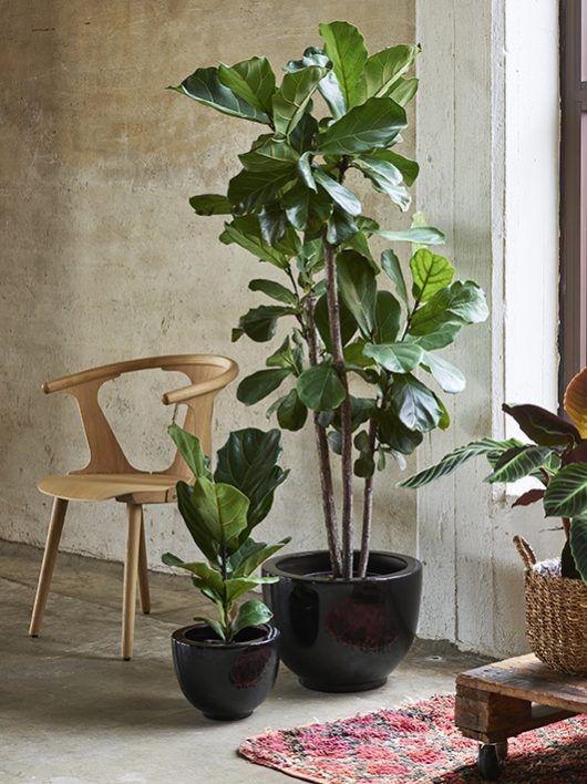 fiolinfiken i potte_grønne planter