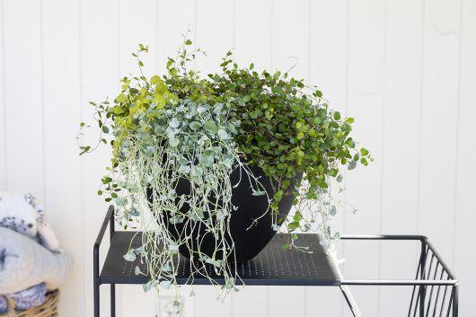 Sommergrønt, eføy, Muehlenbechia, Glechoma, krypfredløs, og Dichondra
