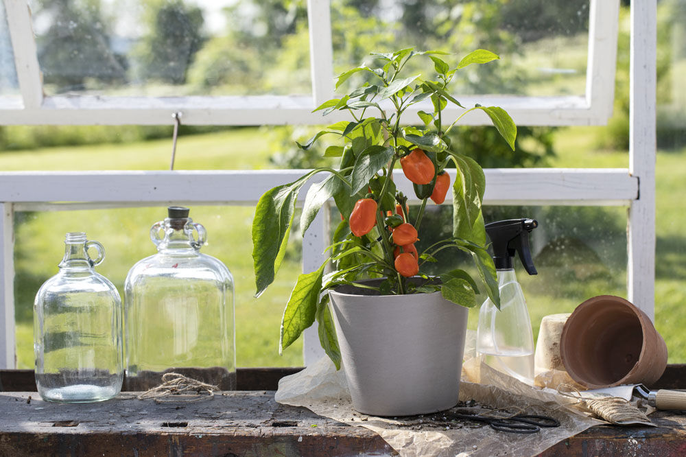 Oransj paprika