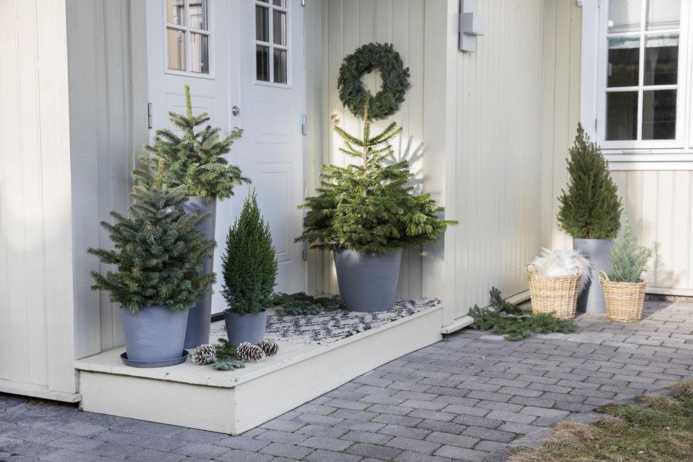 Pynt inngangspartiet emd vintergrønne busker