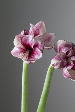 amaryllis daphne