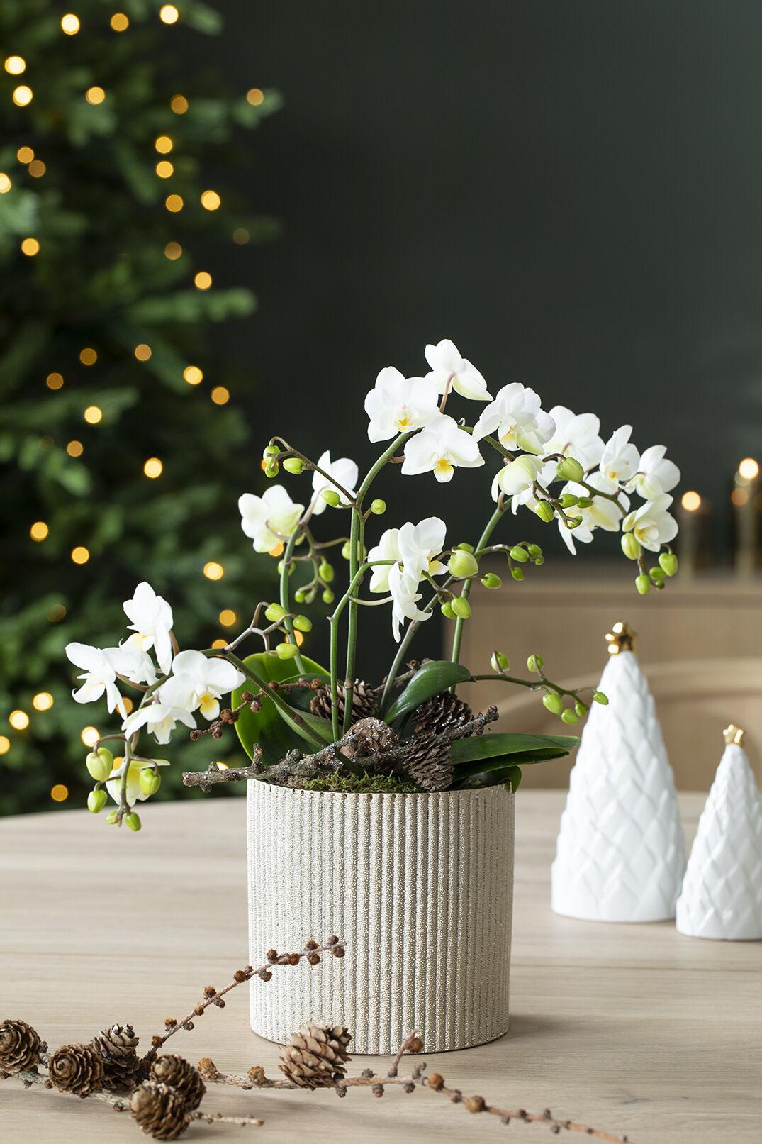 Hvit orkide allergivennlig juleblomst