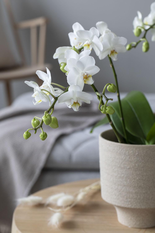 Hvit Phalaenopsis orkide