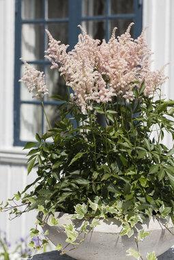 astilbe med sine vakre fjærlignende blomster