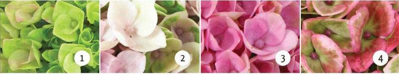 hortensia magical skifter farge i løpet av blomstringen.