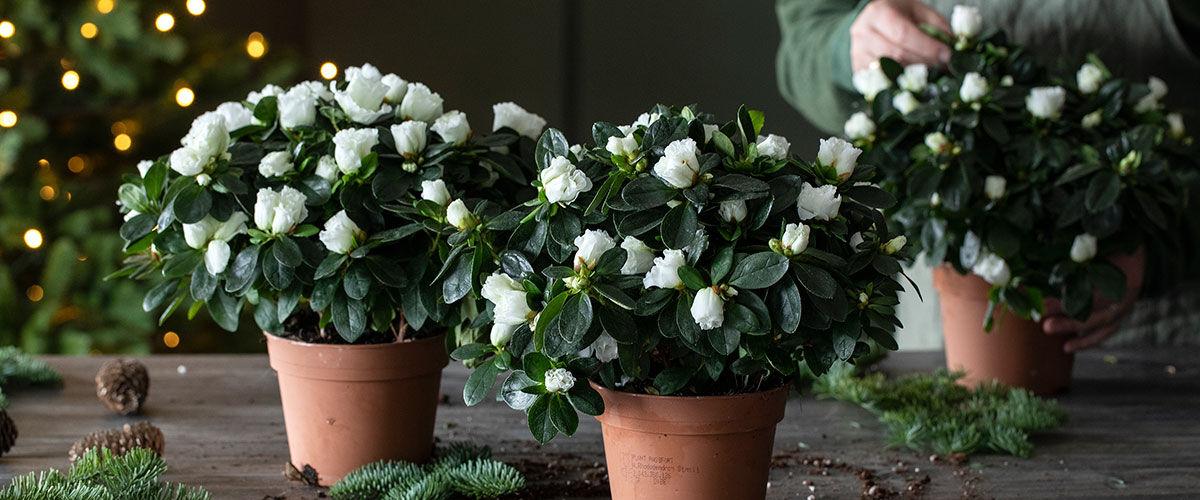 hvit azalea til jul