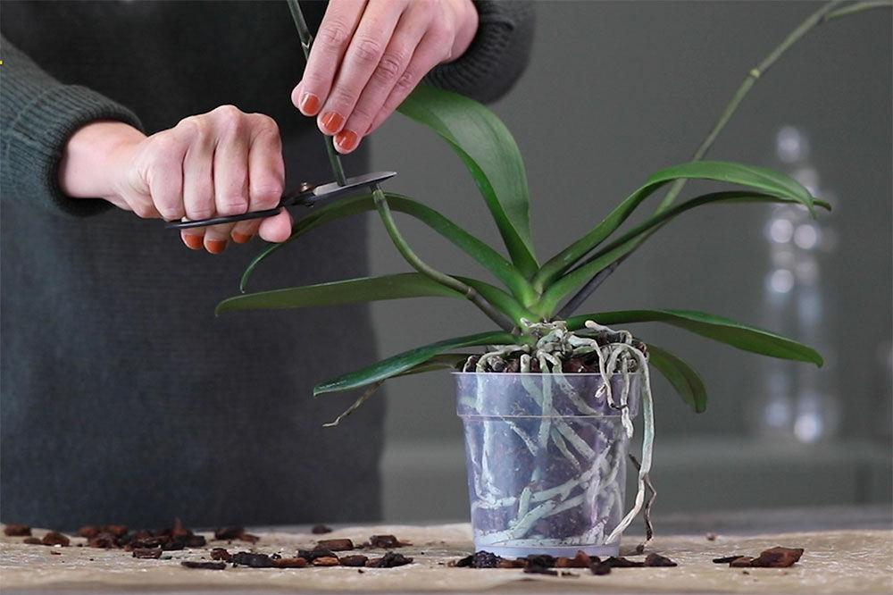 Klippe orkide