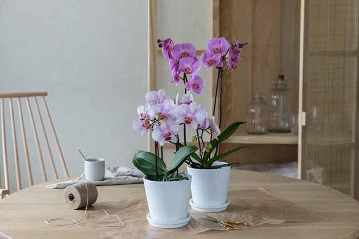 ¨Phalaenopsis orkide