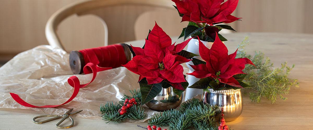 røde mini julestjerner