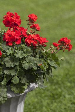 rød pelargonia