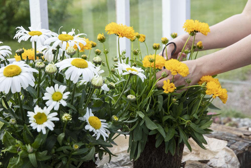 Knip av visne blomster