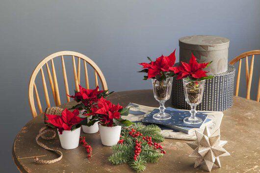 julestjerner med ilexbær