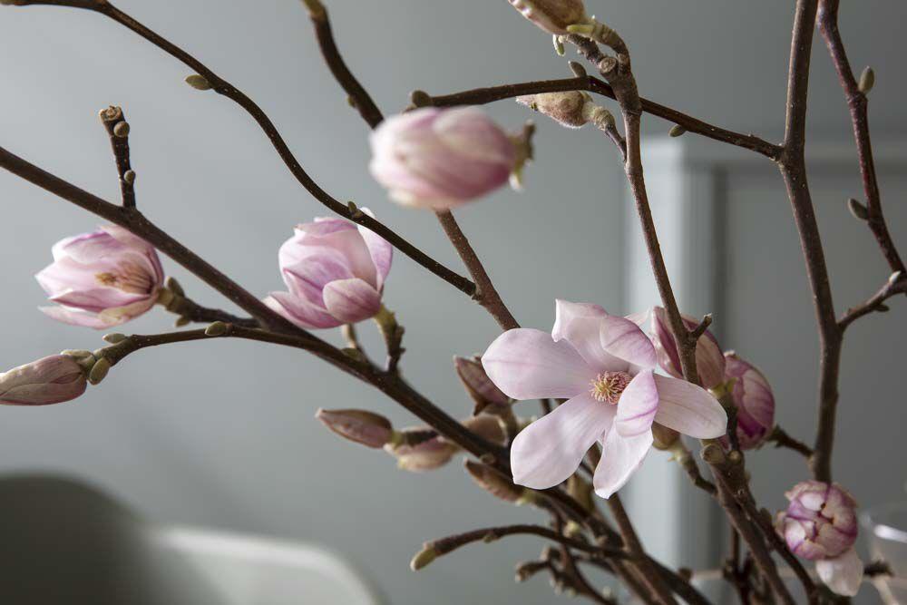 magnolia er kanskje de vakreste greinene vi har