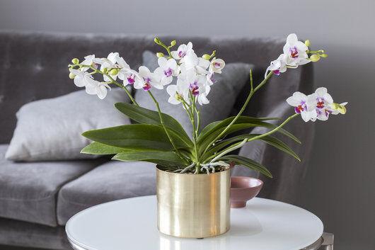 orkide i potte