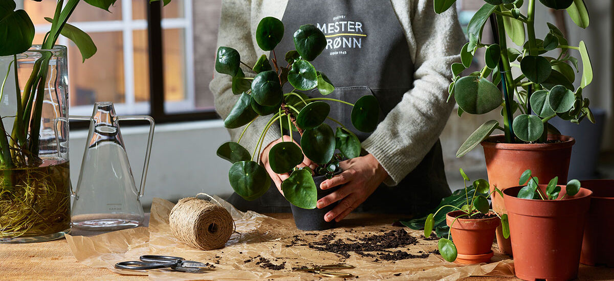 Ta stiklinger fra grønne planter.
