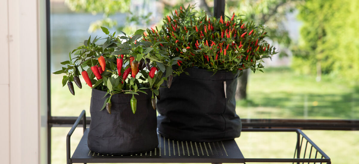 Chiliplanter i selvanningspotten Grow-in