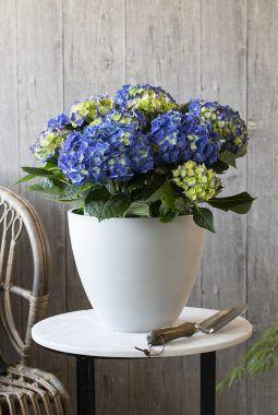 blå hortensia i potte
